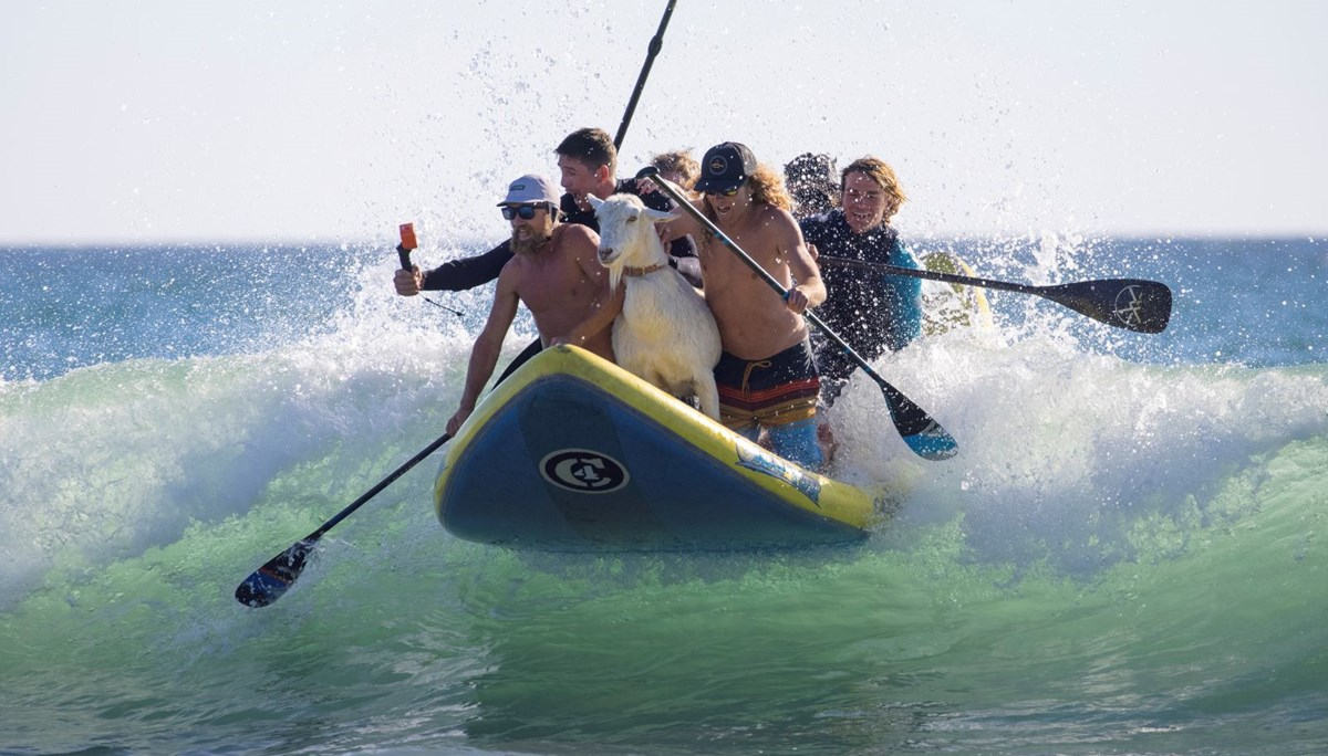 The surfing goat surprises those who see it