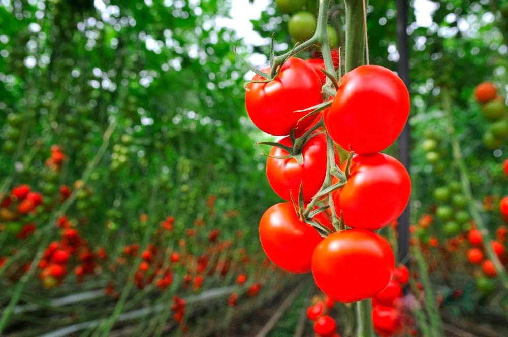 Özbekistan'dan corona virüse karşı domates aşısı - 3