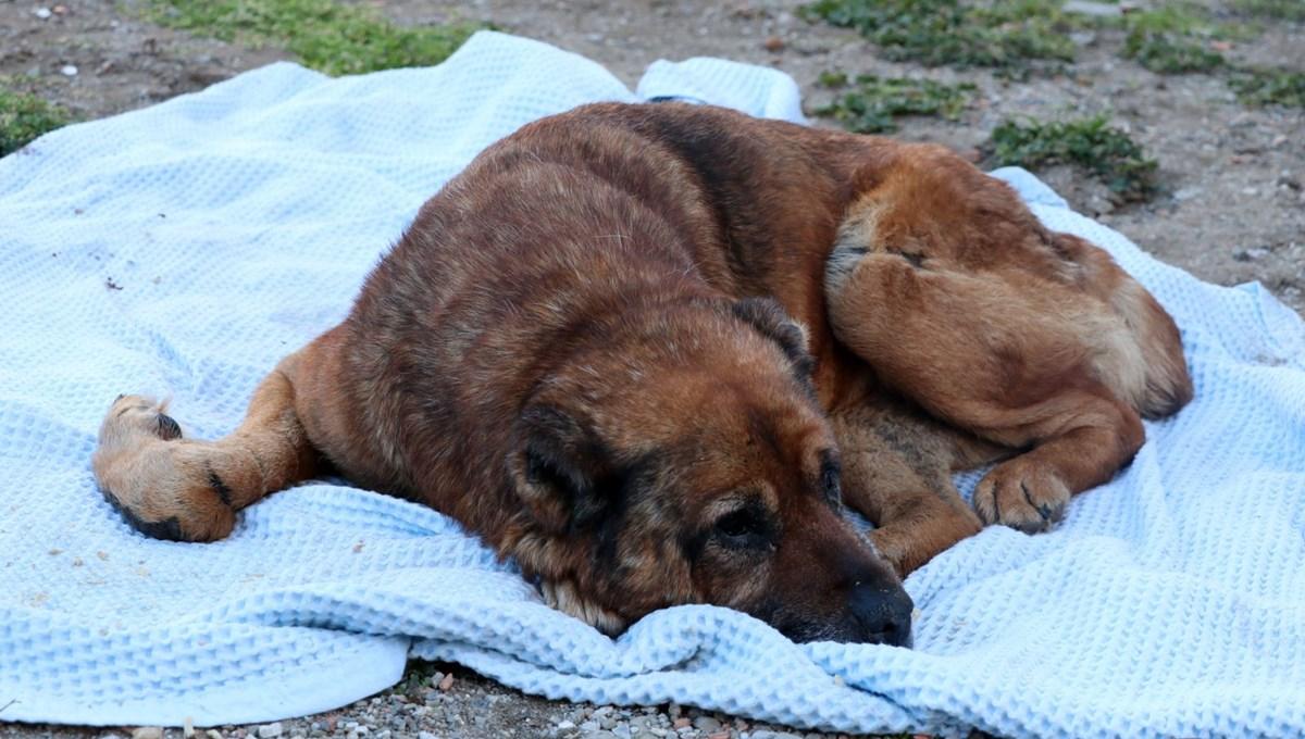 Veterinere götürülen köpeğin vücudunda yüzlerce saçma çıktı