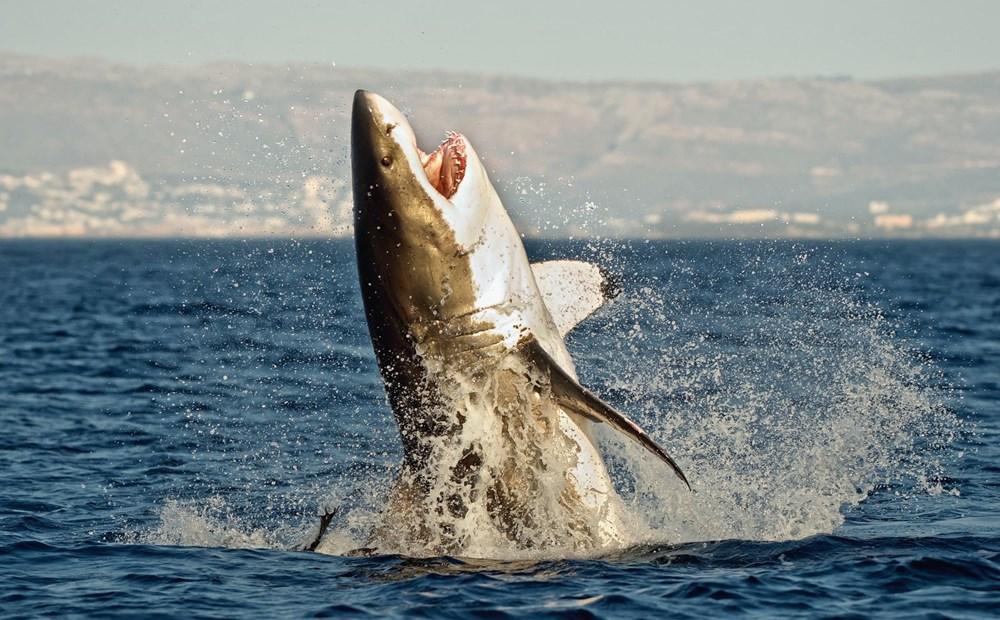 Megalodon köpekbalığının gerçekboyutları ilk kez ortaya çıkarıldı - 4