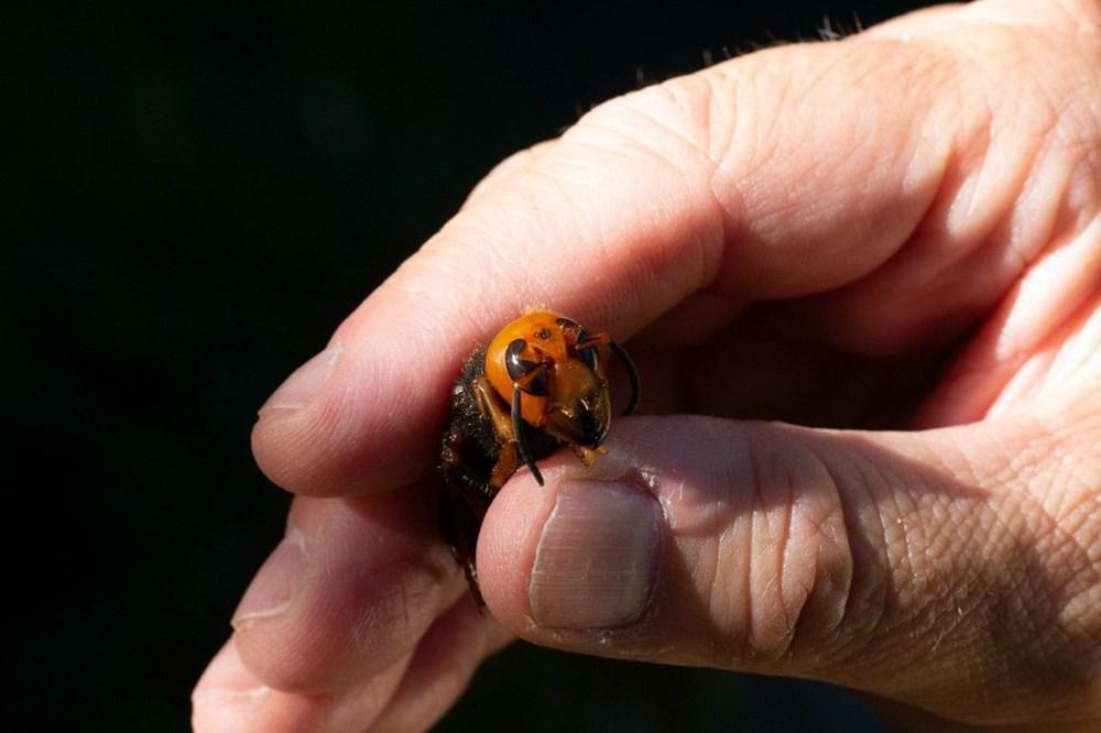 """ABD'de """"katil eşek arısı"""" endişesi sürüyor: Uzun ve zehirli bir iğneye sahip - 2"""