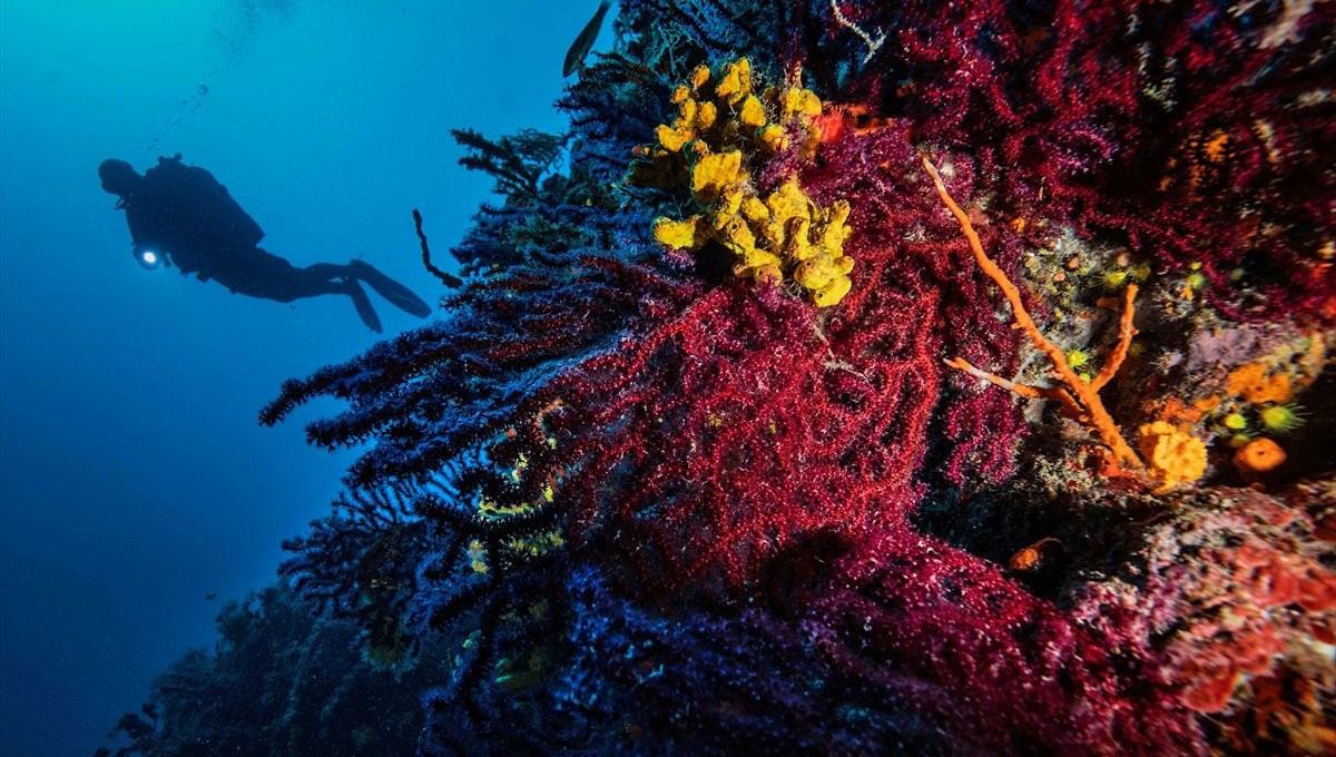 Dünyada sadece 2 yerde: Ayvalık'ın kırmızı mercanları keşfedilmeyi bekliyor