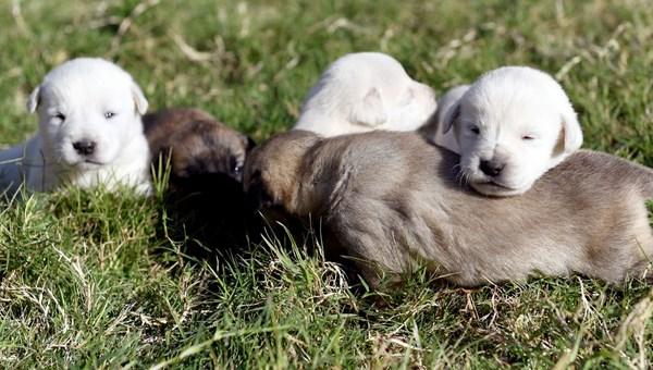 Yeni doğmuş köpekleri çuvala koyup ormana attılar