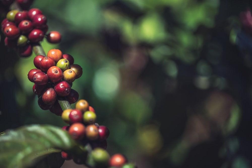 Kahve tiryakilerine iklim değişikliği uyarısı: Yüzde 60'ı tükeniyor - 8