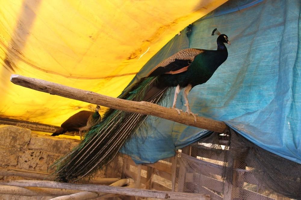 Hobi için tavus kuşu beslemeye başladı, şimdi tanesini 2 bin liradan satıyor - 3