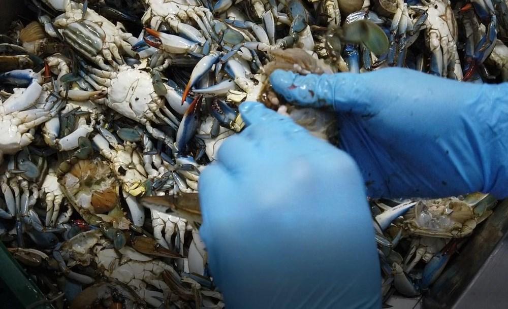 Balıkçıların 'korkulu rüyası' mavi yengeç, turistlerin gözdesi - 4