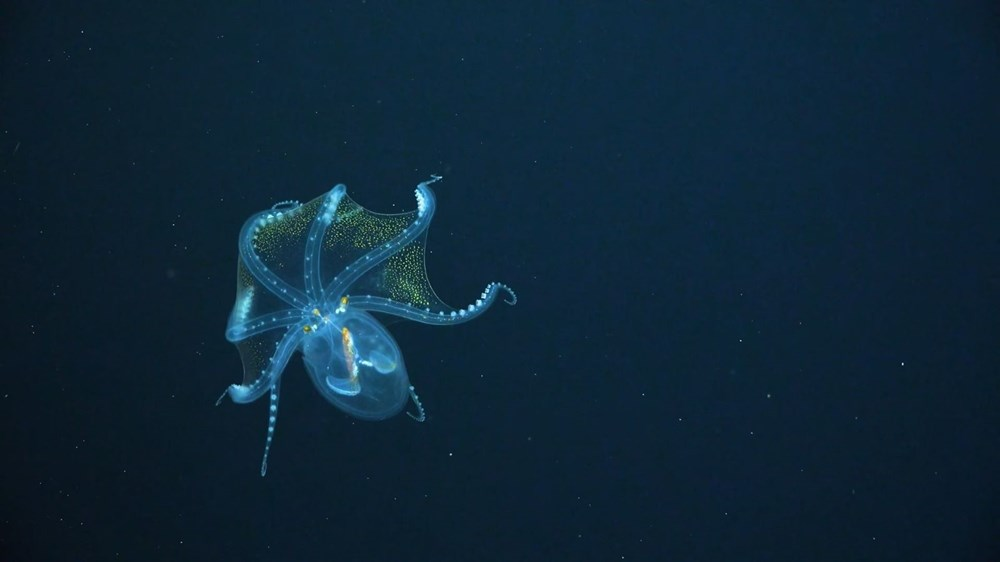 """rare in the ocean """"Glass Octopus"""" viewed - 1"""