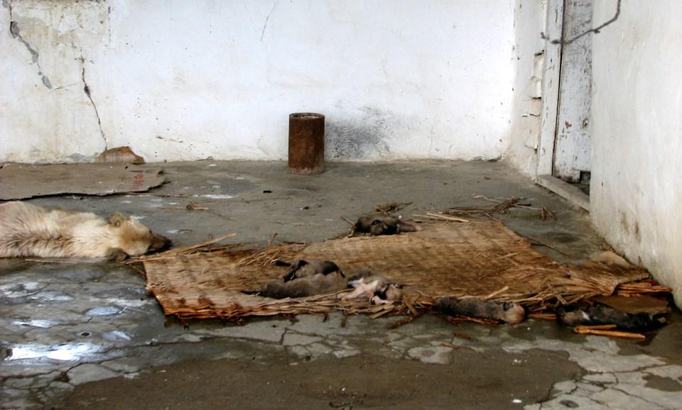 Anne köpek yedisi birden ölen yavrularının başından ayrılmamıştı.