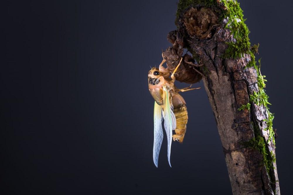 ABD'de corona virüsün ardından zombi ağustos böceği tehlikesi - 5
