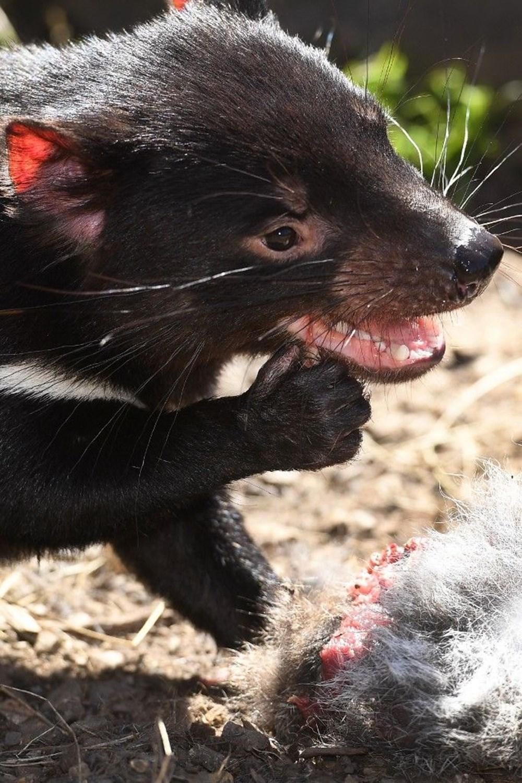 Tazmanya canavarı 3 bin yıl sonra Avustralya ana karasında doğdu: Yavru Joey dünyanın geleceğine dair umutları artırdı - 1