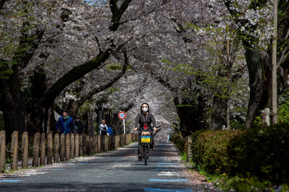 Sakura çiçekleri son bin 200 yıldır bu kadar erken açmadı: İklim değişikliği nedeniyle ekosistemler çökme noktasında - 3