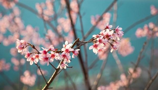 Çam ve Sakura ağaçlarının anlamı nedir? (Başakşehir Şehir Hastanesi'ne ismini veren Çam ve Sakura Ağacı)