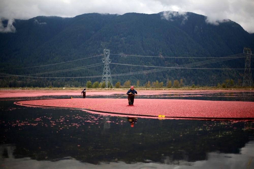 Kanada'da kızılcık hasadı - 26