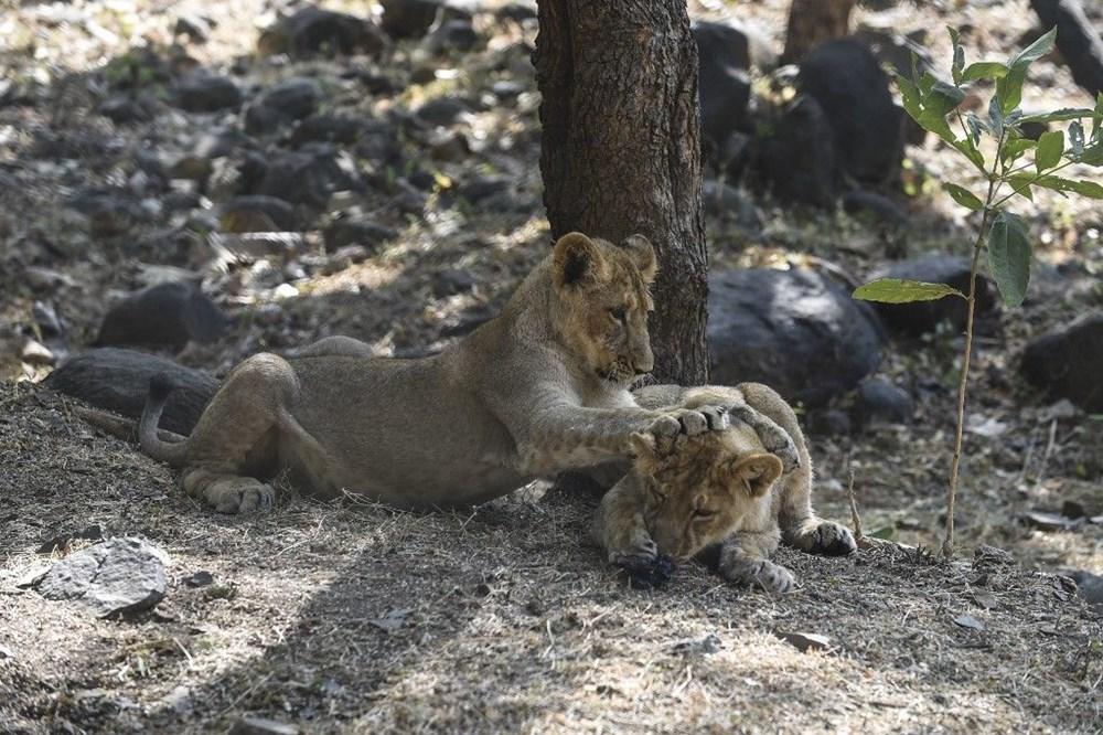 Hindistan'da Covid hayvanlara sıçradı, sekiz aslan virüse yakalandı - 8