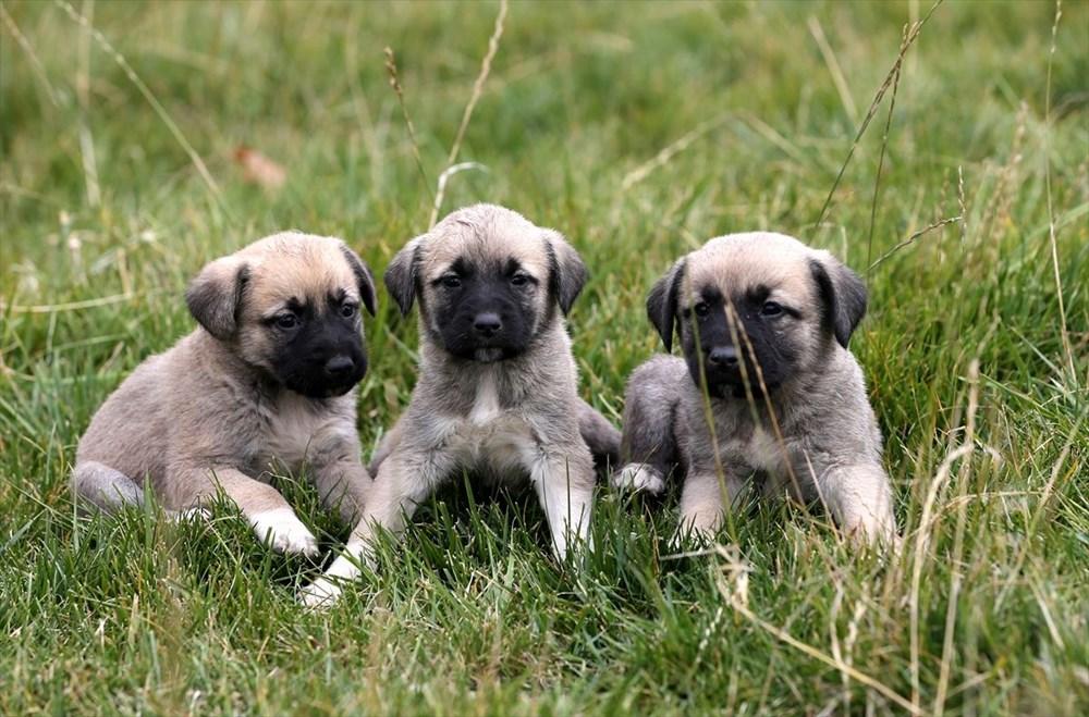Sivas Kangal köpeklerinin genetiği çiple korunuyor - 12