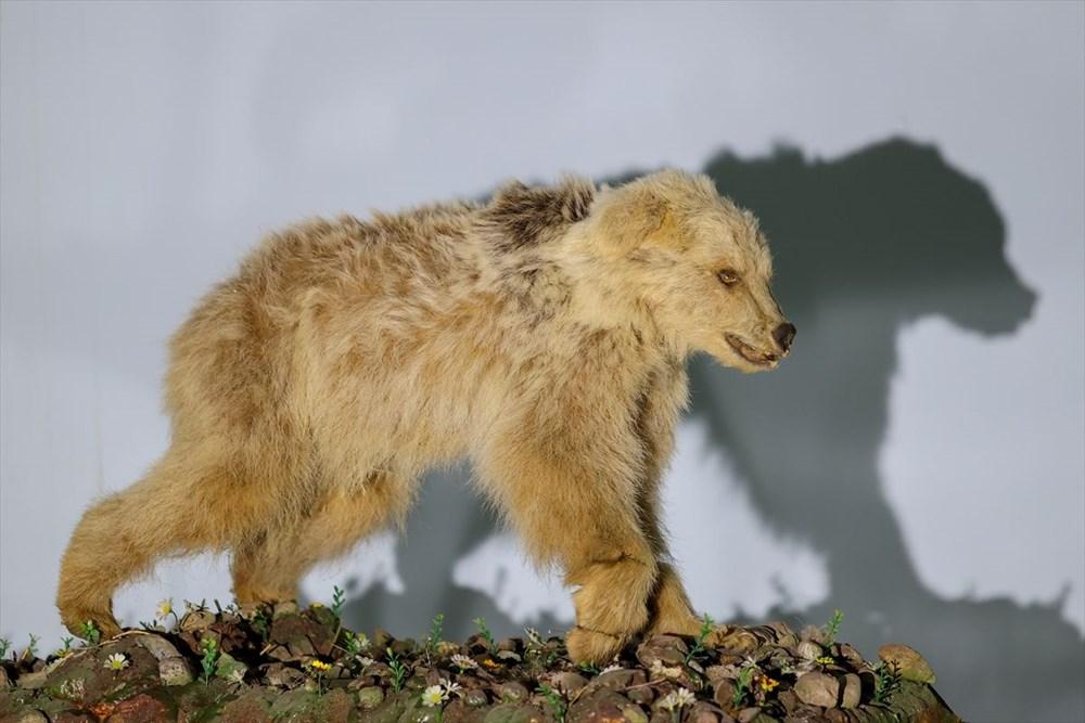 Van'da yaban hayvanları tahnit sanatıyla müzede tanıtılacak - 7