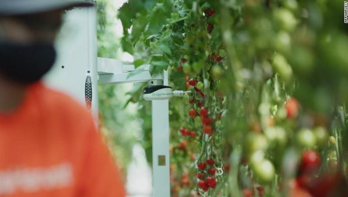Bu serada domatesleri yapay zeka topluyor: Verim 30 kat arttı