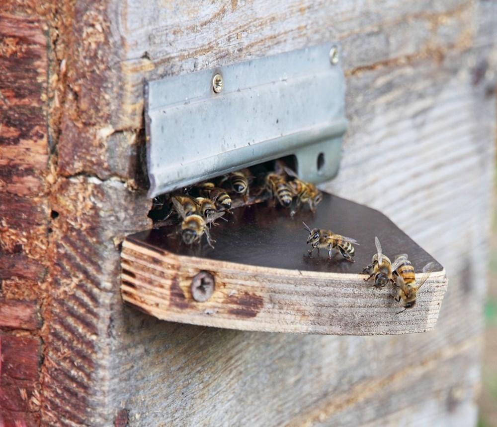 Kabus bitmedi: Katil eşek arıları ABD'ye geri döndü - 7
