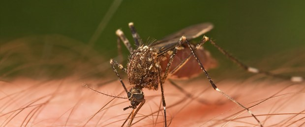 sivrisinek2.jpg