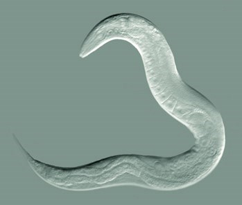 Latince adı 'Caenorhabditis elegans' olan solucan.