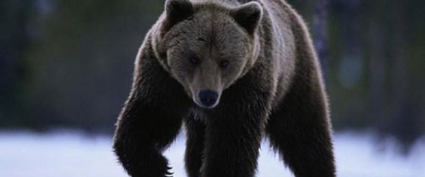 Kış uykusundaki ayılar çabuk iyileşiyor