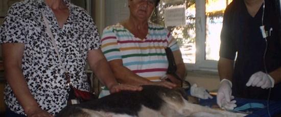 Köpeğe kemoterapi başlandı