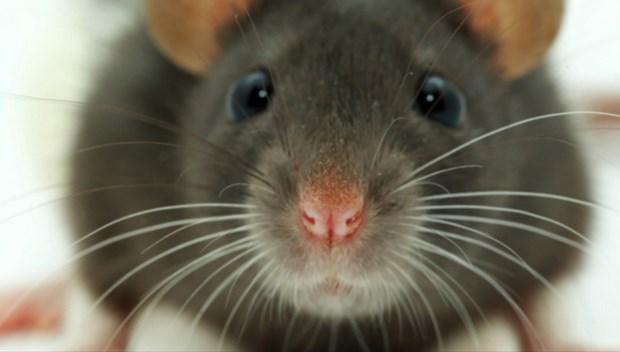 New York'ta fareden bulaşan hastalık endişe yarattı.jpg