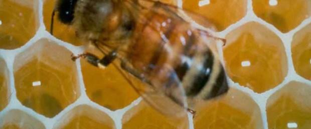 Öldürücü bakterilere arı darbesi