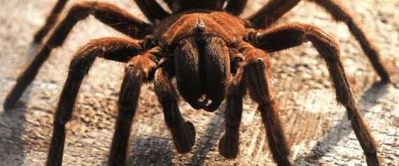 Örümcek zehirlenmesinde aşı umudu