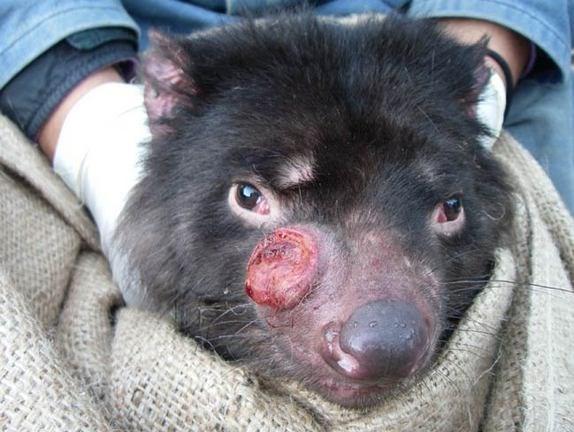 Tazmanya Canavarlarında keşfedilen ilk bulaşıcı kanser türü oldukça hızlı yayılıyor ve 6 ay içinde hayvanların hayatını kaybetmesine yol açıyor.