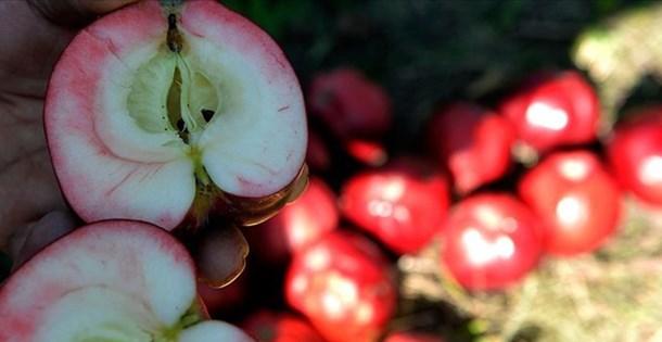 Ardahan'ın içi de dışı gibi kırmızı Posof-Badele elması 'coğrafi işaretle' tescillendi