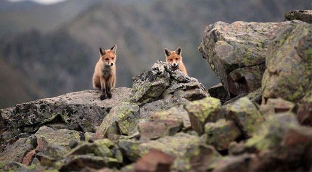 Rize, Kızıl tilki, Kaçkar Dağları Milli Parkı Yaban Hayatı Geliştirme, Çamlıhemşin