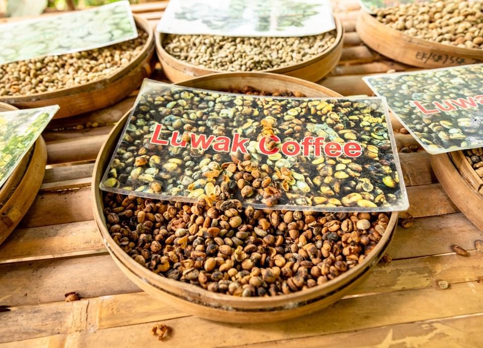 Kopi Luwak kahvesi, misk kedisi, kedi dışkısı kahve, dünyanın en pahalı kahvesi, kopi luwak kahvesi nasıl üretiliyor