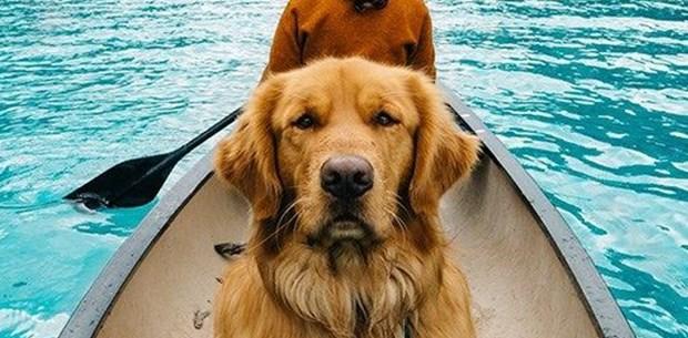 Sosyal medyanın yeni fenomeni: Gezgin köpek Aspen