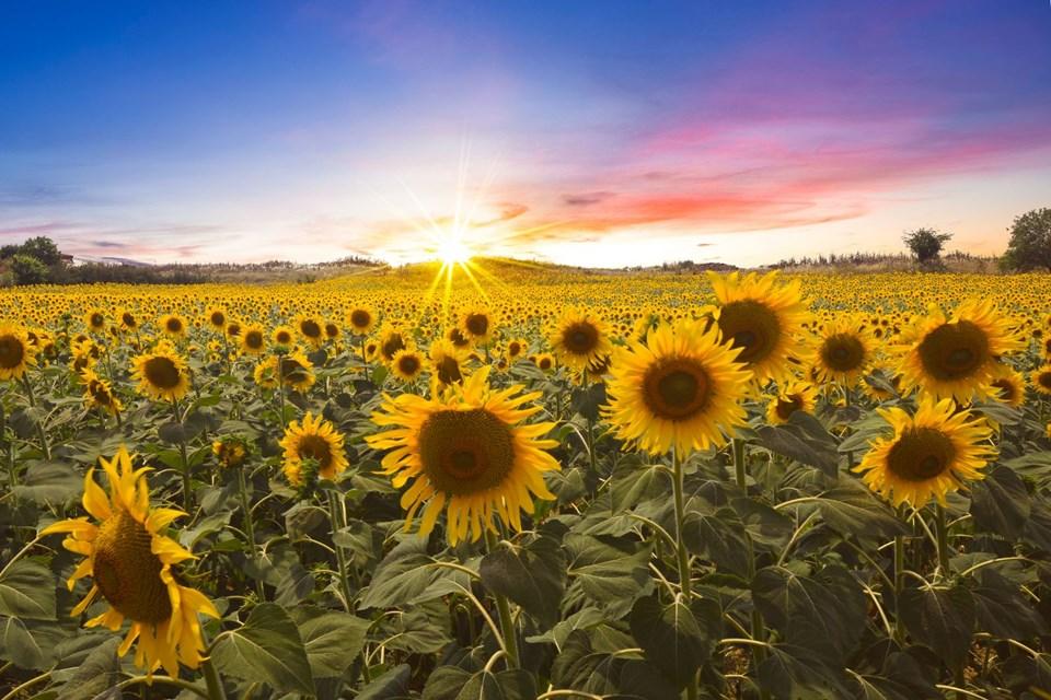 sarı gelin, ayçiçeği tarlaları, trakya ayçiçeği