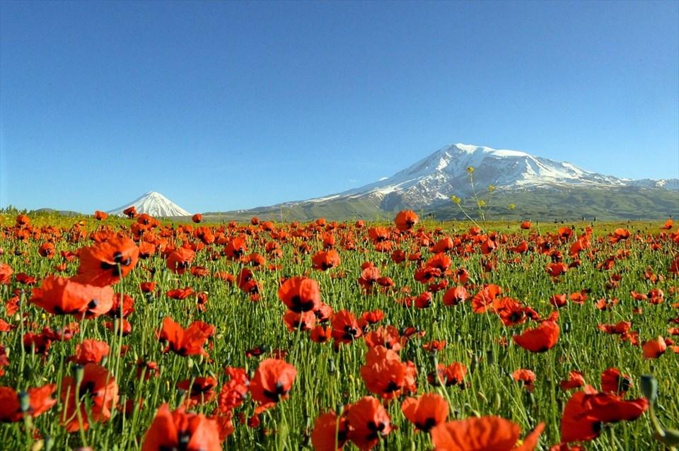 ağrı dağı, gelincik çiçekleri, ağrı dağı ilkbahar