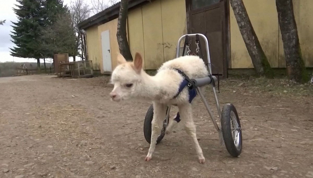 He can walk now!  (Baby Alpaca became the mascot of the farm)