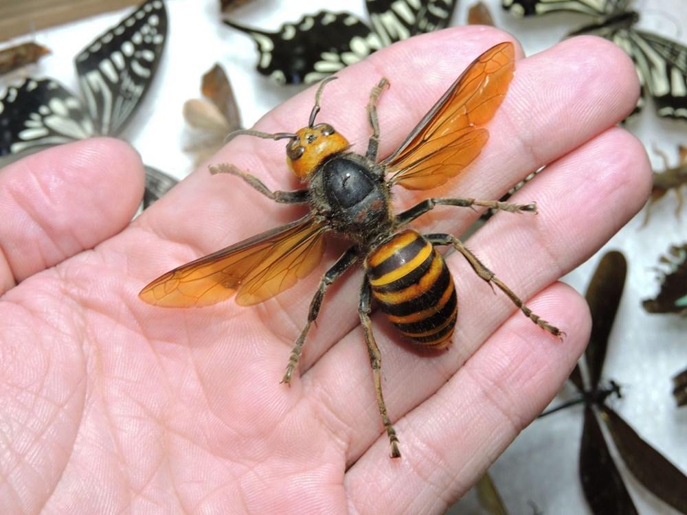 Kabus bitmedi: Katil eşek arıları ABD'ye geri döndü - 4