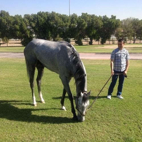 Jokey Ahmet Çelik geçenhafta Dubai'ye gidip Graystorm ile çalışmalara başladı
