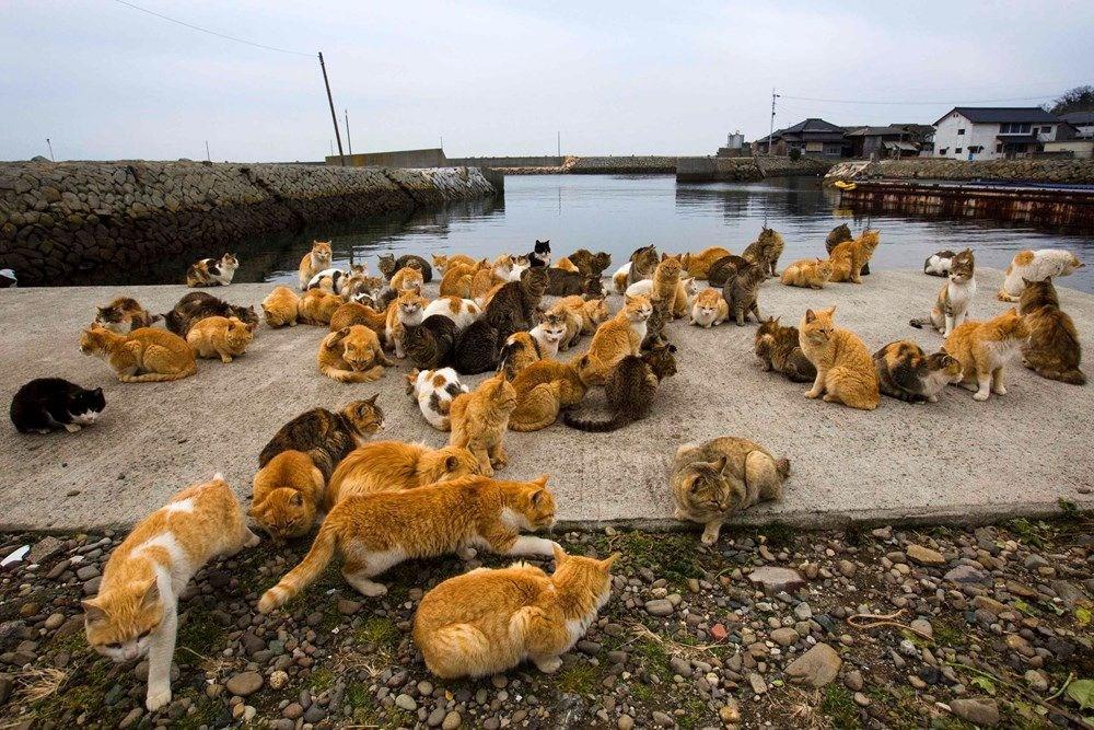 Japonya'daki kedi adası: Aoshima - 8