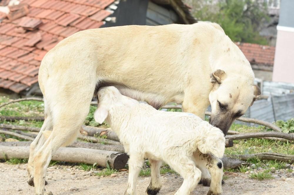 Çoban köpeği kuzunun süt annesi oldu - 1