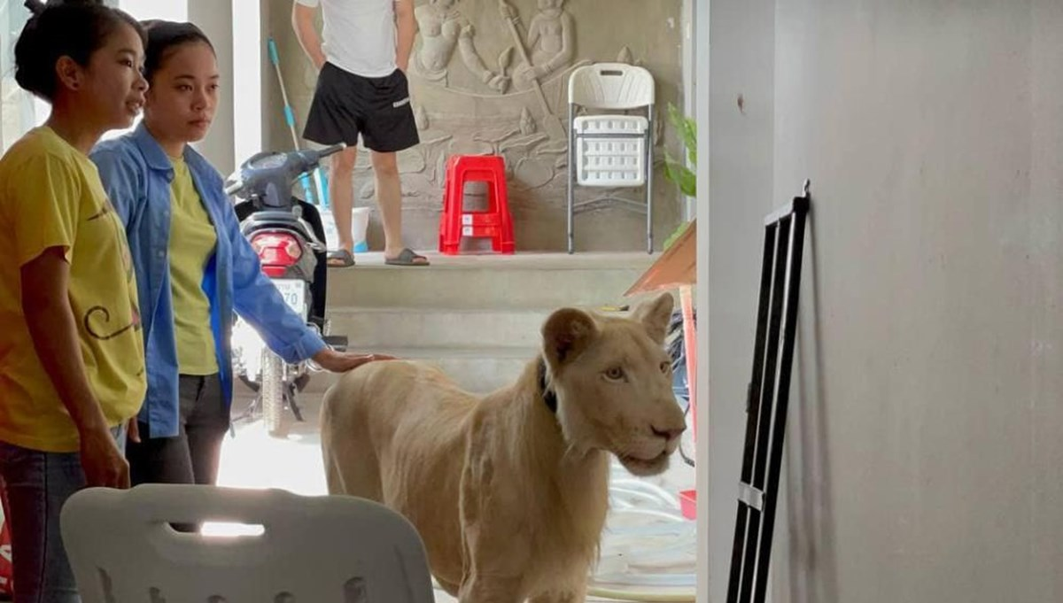 TikTok'ta videoları yayınlanan aslana el konuldu