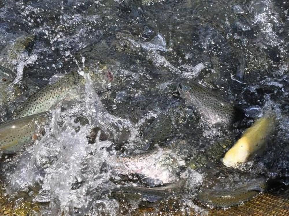 Denizi olmayan Manisa'dan dünyaya balık ihracı - 3