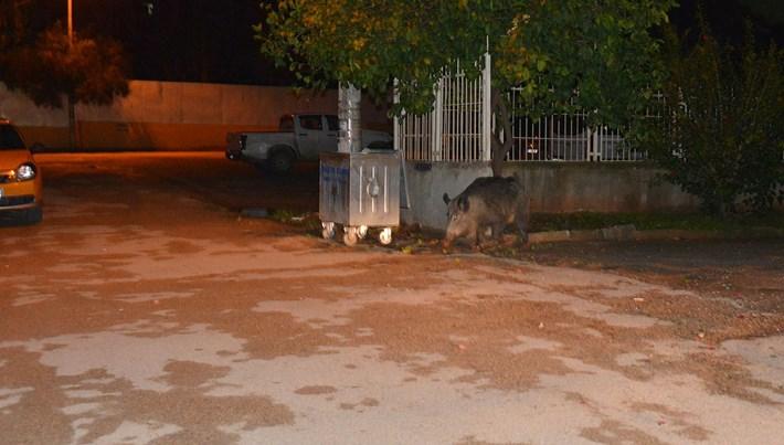 Adana'da şehre domuz indi