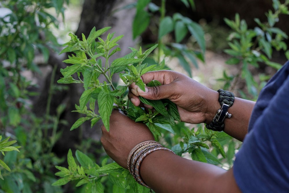 Zumbani, the plant that African country hopes for: If we didn't use it, we would be dead - 2