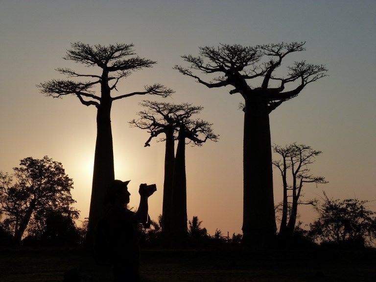 Binlerce yıllık baobab ağaçlarının ölüm nedeni küresel ısınma