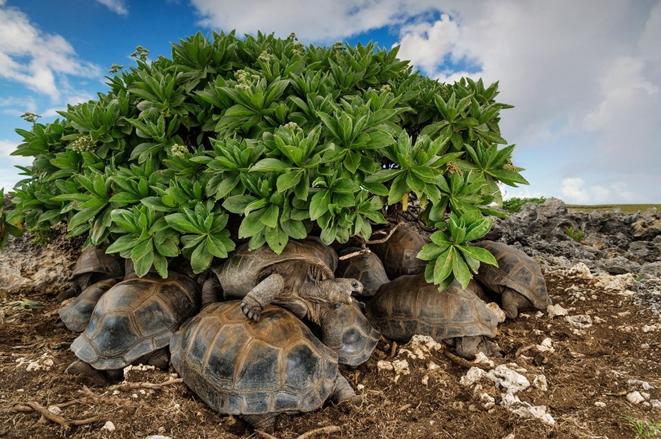 Dev kaplumbağalar Seyşeller'de yer alan Aldabra'da bitki örtüsünün altında sığınıyorlar.