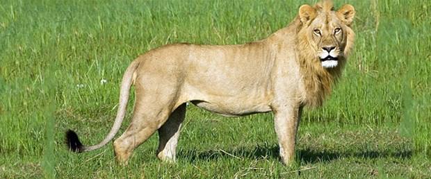 aslan-erkek-taklidi.jpg