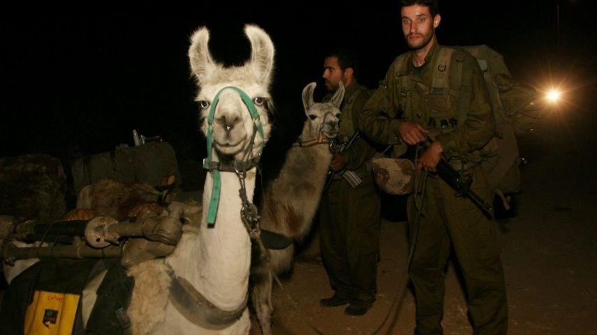 Lamalar, İkinci LübnanSavaşı'dadahil olmak üzere, bir sürü alanda ekipman taşımak için kullanılıyordu. Ancak ilerleyen yıllarda, askerlerin hızını yavaşlattıklarına dair gelen şikayetlerden dolayı lama kullanımına son verilmişti.