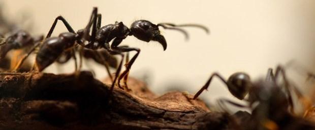 karınca.jpg